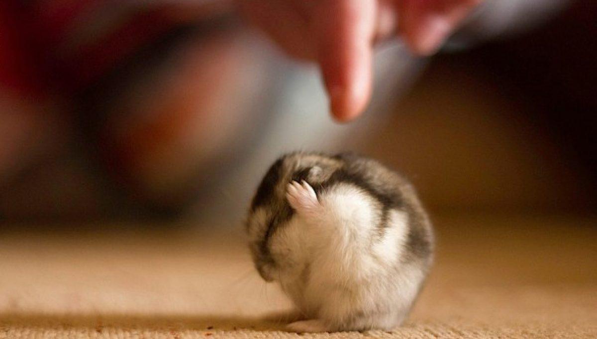 El mejor blog con información sobre roedores domésticos